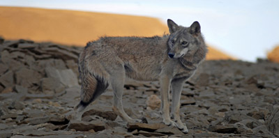 A Wolf in the Negev desert