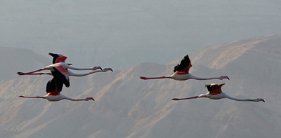 Flamingo in migration over the Mts. of Eilat