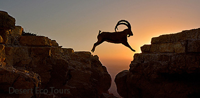 Ibex in the Negev desert: jeep tours from Eilat