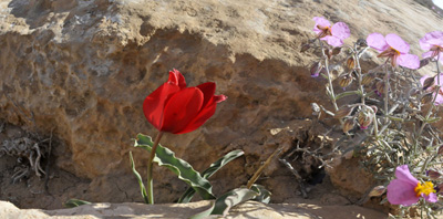 Spring in the Negev- Mitzpe Ramon, Ramon Craater