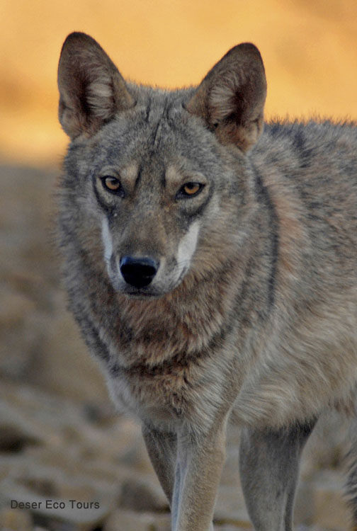 Desert Wolf in the Eilat Mts- Negev
