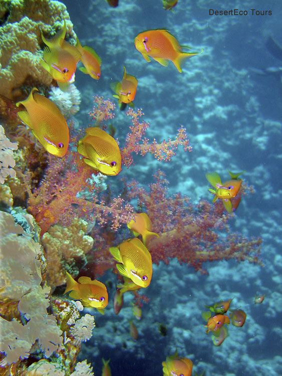 Diving and snorkeling in the Red Sea, Sinai, Egypt
