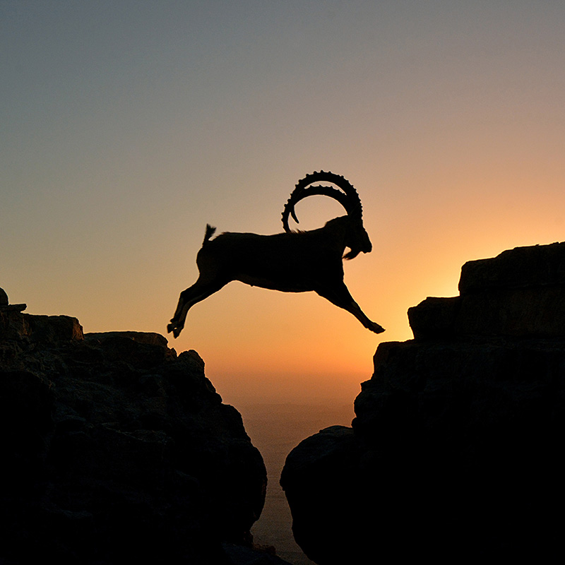 Ibex in the Negev desert, Mitzpe Ramon