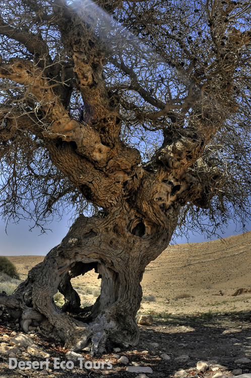 Old tree in the Ramon Crater
